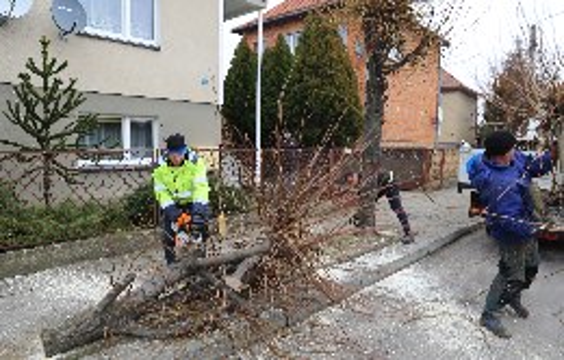 Odnowa drzewostanu na kobylińskich ulicach